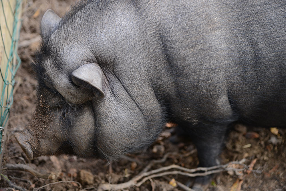 camping parc animalier vendée cochon